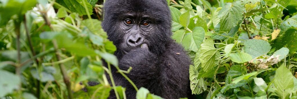 Trek za gorilami v národním parku Bwindi