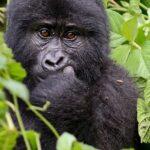 Horské gorily Bwindi Uganda