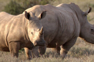 Nosorožci Ziwa Uganda