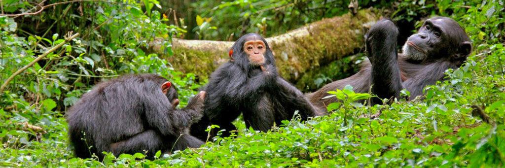 Šimpanzi Bwindi Uganda