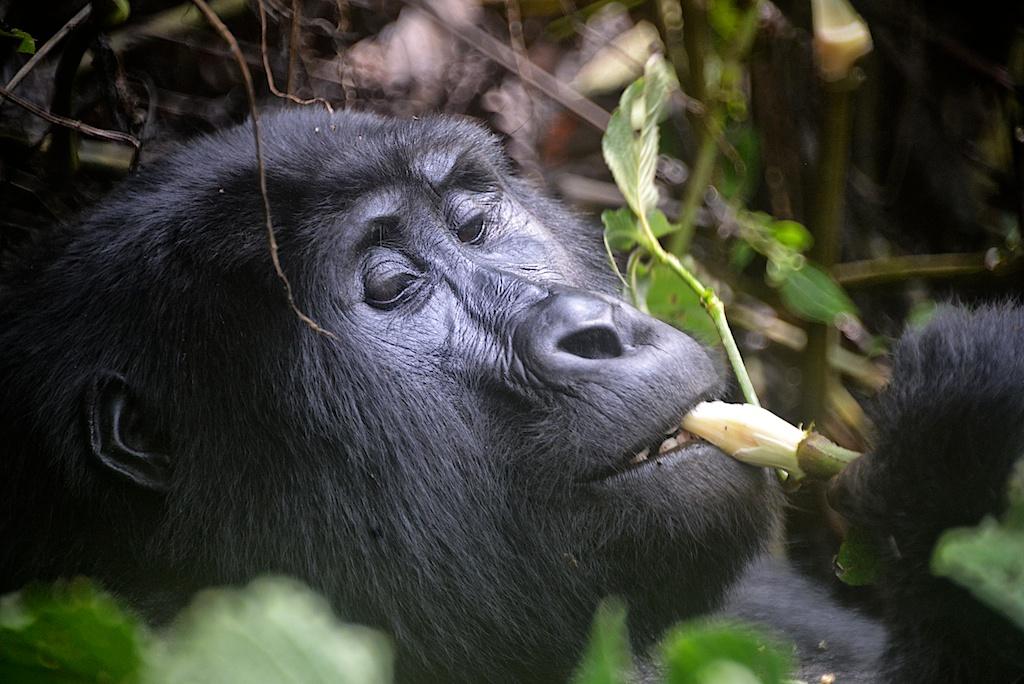 Gorily horské jsou býložravci