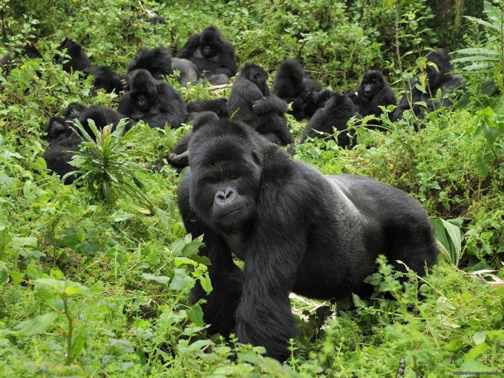 Gorilí safari v národním parku Mgahinga
