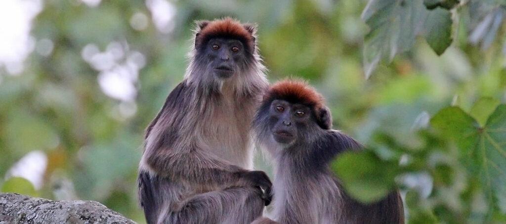 Na safari za primáty v Kibale Forest