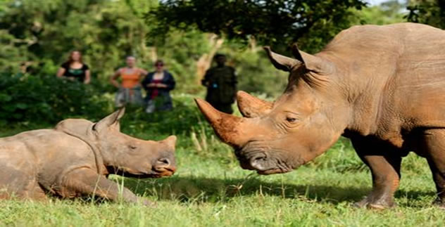 Pozorování nosorožců v Ziwa Rhino Sanctuary