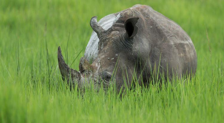Nosorožci v Ziwa Rhino Sanctuary spasou velké množství trávy