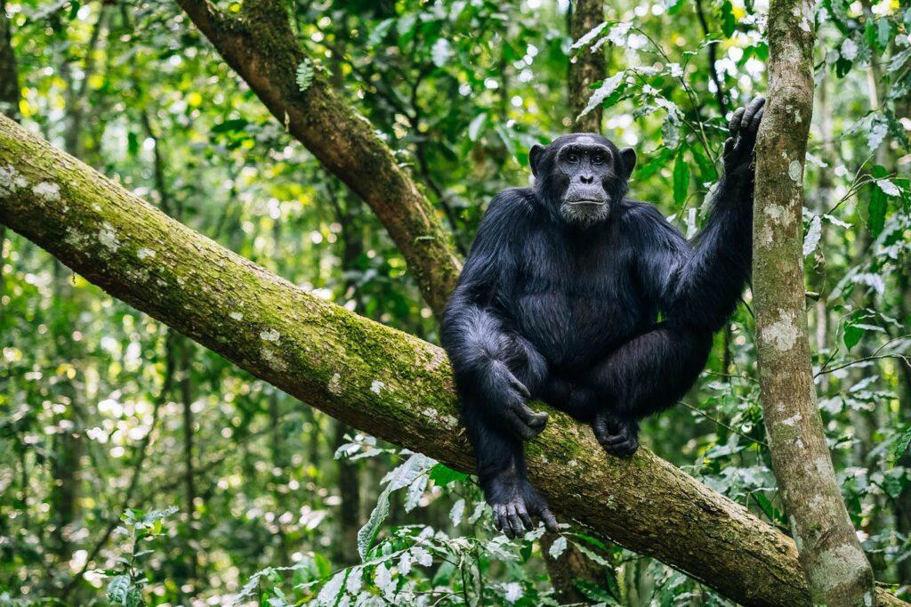 Setkání se šimpanzi v národním parku Kibale