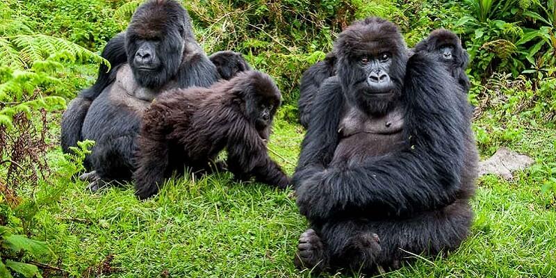 Setkání s gorilami v národním parku Bwindi