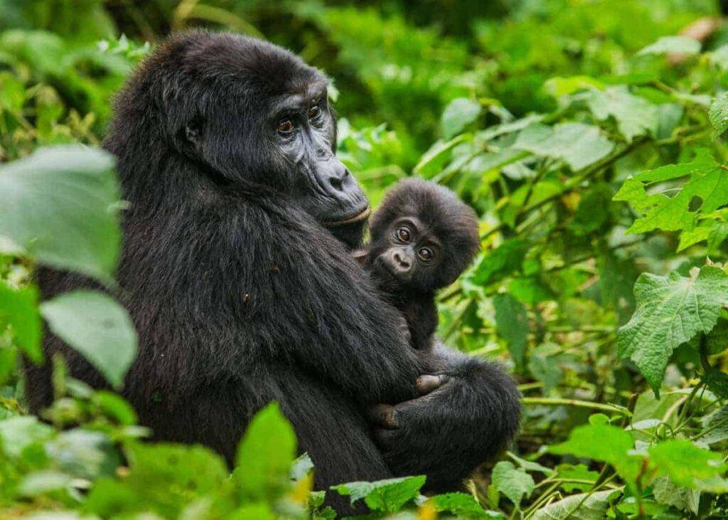 Gorilí mládě s matkou