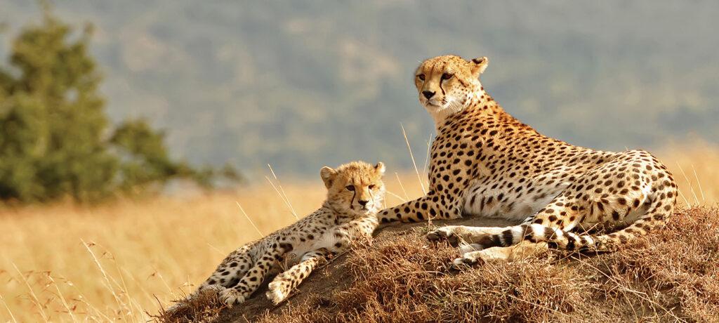 V parku Kidepo Valley můžete narazit i na geparda.