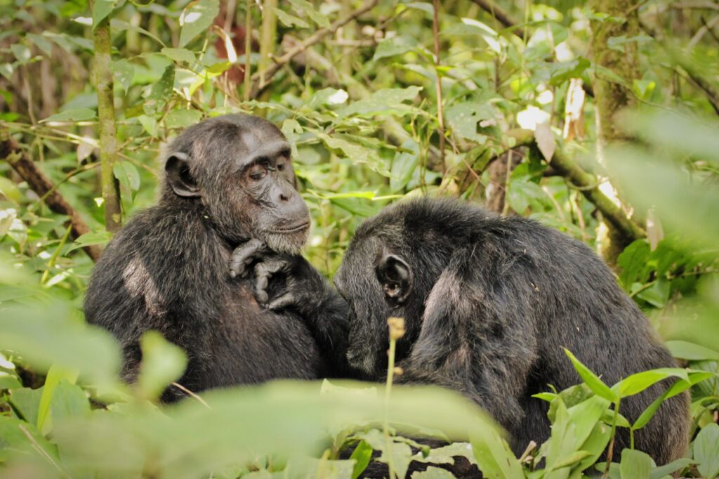 Pozorování šimpanzů v národním parku Kibale