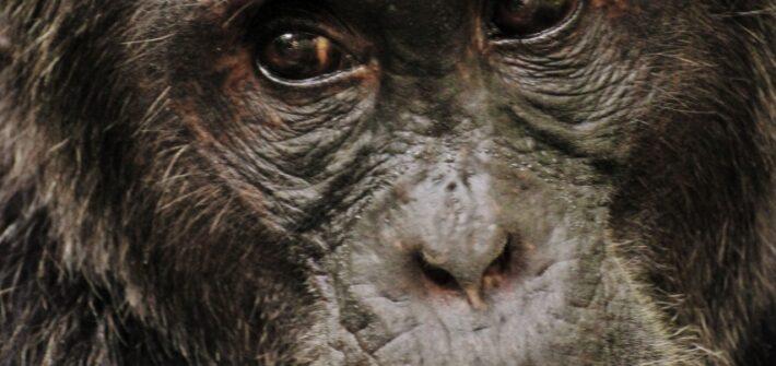 Putování za šimpanzi v národním parku Kibale Forest