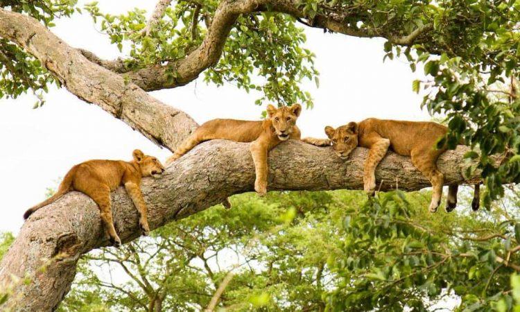 Národním park Queen Elizabeth - stromoví lvi