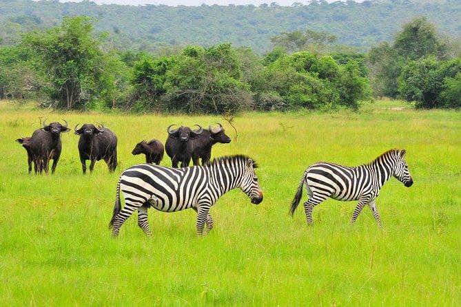 Buvoli a zebry v národním parku Lake Mburo